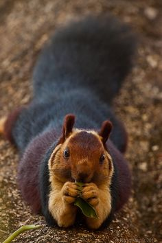 """The Malabar/Indian Giant Squirrel (Ratufa indica) lives in the evergreen & mixed deciduous forests of India. The head and body is up to 16"""" in length, compared to the 10"""" Eastern Gray found in the US. The size of its tail can grow to 2' in length & their 2-3 toned coloring is unique of all the 280 squirrel species. It is a diurnal, arboreal, herbivore. // text by RJ Evans -- click for great article and more photos @ http://www.arkinspace.com/2010/09/indian-giant-squirrel-secret-squirrel.html"""