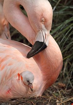 Cute: The unnamed Chilean flamingo chick was born a month ago at Woodland Park Zoo in Seattle and has been snapped sheltering for cover under its mother's wing