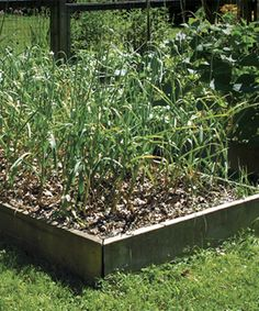 Grow Your Own Garlic ~ We'll be planting ours on Columbus Day! :) #dazehub