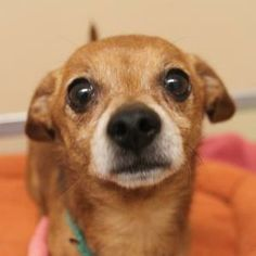 Lovables: Meet Pancho, an adoptable Chihuahua at A.D.O.P.T. Pet Shelter in Naperville, IL