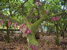 coffee bean trees! Costa Rica Teen Community Service and Spanish Immersion Program | Teen Service Trips | Road Less Traveled