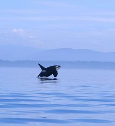 Protect the Northwest's Endangered Orcas from Dirty Coal