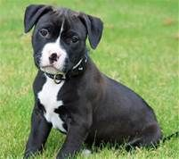 american pit bull terrier puppies - Yahoo Image Search Results