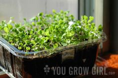 Scratch the gardening itch no matter what the weather is outdoors by growing your own microgreens on a windowsill! | From You Grow Girl | Photo by Gayla Trail  All Rights Reserved