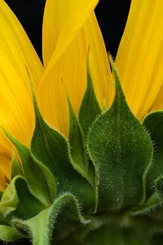 Sunflower Detail ~ Yellow and Green Happy Flowers, Flowers Nature, Beautiful Flowers, Sun Flowers, Sunflowers And Daisies, Yellow Flowers, Poppies, Sunflower Wallpaper, Bonsai