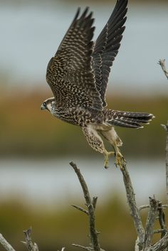 https://flic.kr/p/gPa7hp   _Z0U2659   Peregrine Falcon, Edwin B. Forsythe N.W.R., N.J.