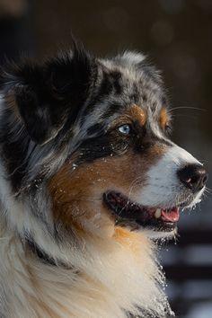 Gorgeous Australian Shepherd Dog...
