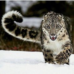 Clouded Snow Leopard Drudging in the Snow.