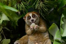 The foraging strategy and dietary habits of the pygmy slow loris are not unlike those of its larger relative, the slow loris. The animal is a nocturnal ...