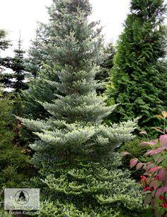 Abies koreana 'Aurea' Yard Landscaping, Landscaping Ideas, Abies Koreana, Backyard Trees, Planter, Evergreen Trees, Lancaster, Pine, Gardens