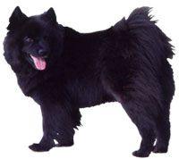 Basil! Swedish laphund