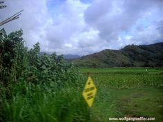 Taro war das Grundnahrungsmittel, der hawaiianischen Ureinwohner und wird in Feldern, ähnlich wie Reis angebaut.