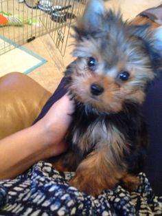 Duke of Yorkie - Mama please don't go to work - Yorkie Yorkshire Terrier Puppy Pets Dogs