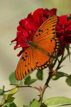 Gulf-Fritillary butterfly