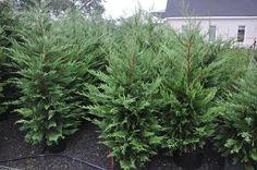 leyland cypress 5 gallon - Google Search