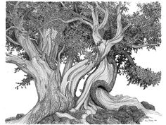 pen and ink trees | Go Back > Gallery For > Bristlecone Pine Drawing
