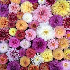 just a small sample of some of our #dahlias this season! #fieldtovase #slowflowers #flowerfarm #fiveforkfarms
