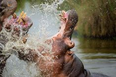 Although hippos can hold their breath for approximately seven minutes, most adult hippos resurface every three to five minutes to breathe. This is an automatic process – even sleeping hippo surfaces to breathe without waking.  _ _ _ _ _ _ _ _ _ _ _ _ _ _ _ _ _ _ _ _ _ _ 📷- @brendoncremer 📍- @elephantplainsgamelodge 🌍- Sabi Sand Wildtuin, South Africa  _ _ _ _ _ _ _ _ _ _ _ _ _ _ _ _ _ _ _ _ _ _ _ Game Lodge, South Africa, Breathe, Hold On, Elephant, Posts, Instagram, Messages