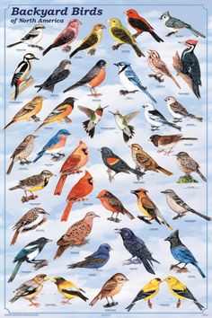 Backyard Birds of North America Poster: North American Birds Poster
