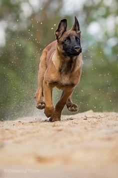 Berger Malinois, Belgian Malinois Puppies, Dutch Shepherd Dog, Belgian Shepherd, Pastor Belga Malinois, Belgium Malinois, Dog Whisperer, Schaefer, Military Dogs