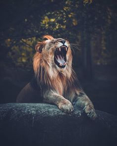 Lion 'couchant', in front of cave, roaring Lion Photography, Adventure Photography, Infinity Photography, Animals Images, Animals And Pets, Cute Animals, Mundo Animal, My Animal, Beautiful Creatures