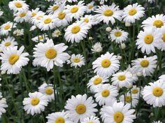 Plantas que sirven como repelentes naturales anti insectos - #MARGARITAS
