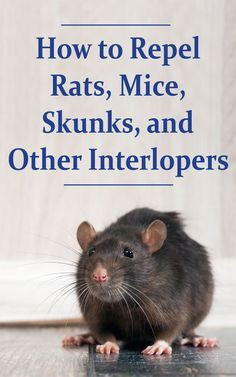 How to Repel Rats, Mice, Skunks, and Other Interlopers - Countryside Network Getting Rid Of Skunks, Getting Rid Of Mice, Skunk Repellent, Cockroach Repellent, Skunk Smell, Glue Traps, Diy Pest Control, Nocturnal Animals, Farm Animals