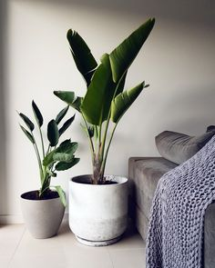 Large indoor plants that have the wow factor. Large indoor plants that have the wow factor. Looking to create a lush indoor jungle without the hassle of looking after lots of plants? Sometimes one large plant can bring the wow factor. Plantas Indoor, Large Indoor Plants, Indoor Plant Decor, Indoor House Plants, Large Leaf Plants, Large Plant Pots, Birds Of Paradise Plant, Decoration Plante, House Plants Decor