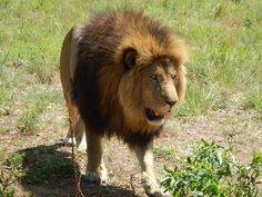 south africa animal lion 17