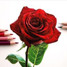 Rose art by Red Rose Drawing, Beautiful Rose Drawing, Realistic Flower Drawing, Realistic Drawings, Colorful Drawings, Awesome Drawings, Rose Sketch, Epic Art, Color Pencil Art