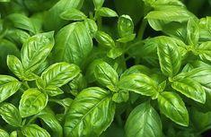 Een basilicumplant verzorgen niet zo heel moeilijk, het is een makkelijke plant. Wel zijn er wat punten waar je op moet letten. Tips en trucs