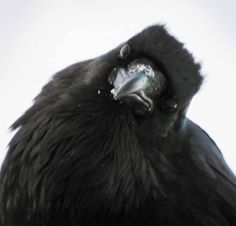 Study highlights the intelligence of ravens