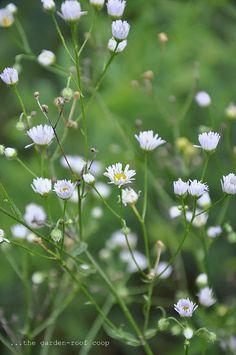 090414 prairie fleabane ~ Erigeron strigousus 'Prairie Fleabane, Lesser Daisy Fleabane