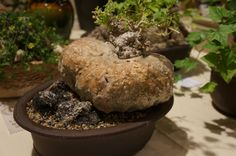 https://flic.kr/p/N5XTvq | Xerosicyos pubescens - CSSA 2014.JPG