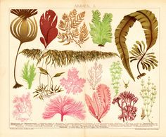 1908 Antique fine SEAWEED print Various by TwoCatsAntiquePrints