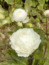 CONTACT Paeonia - Heemskerk Vaste Planten/Perennials
