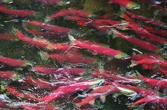 Tracking studies support the idea that salmon return from the ocean to the exact place of their freshwater birth to spawn.