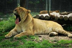 Liger Wild Survival as a Scavenger. Liger can Scavenge other Big Cats foot. Surviving In The Wild, Hippopotamus, Big Cats, Panther, Deer, Hunting, Survival, Animals, Animaux
