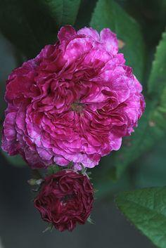 Gallica Rose: Rosa 'Cramoisi Picoté' (France, 1834)