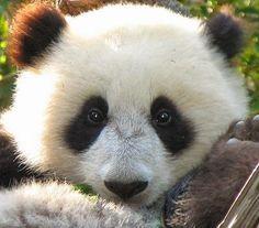 Imagenes osos panda: Imagen tierna cara oso panda  25-06-15