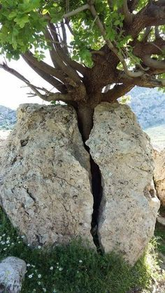 A tree stuck in a stone