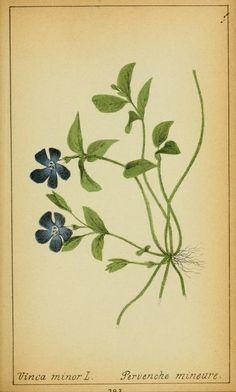 A faj kettős latin neve: Vinca minor Magyar név: kis télizöld /kis meténg/ Család: Apocynaceae  Rend: Gentianales Életforma: Ch Termés: ikertüsző