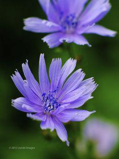 ~~Cichorium Intybus in the wild! by Ramesh Thyagarajan~~