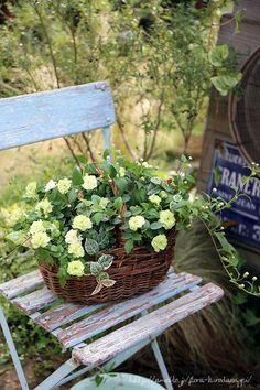 フローラのガーデニング・園芸作業日記-ミニバラ グリーンアイス 寄せ植え