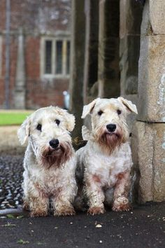 Sealyham Terrier ♥