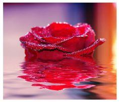 floating red rose