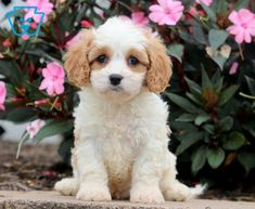 Poe | Cavachon Puppy For Sale | Keystone Puppies Puppies For Sale, Cute Puppies, Cavachon Puppies, Dogs, Animals, Animales, Animaux, Pet Dogs, Doggies