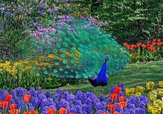 Do you see the peacock among the flowers?