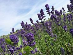 So you can cover your garden with lavender for just a few cents! - Ripost Source by jz Permaculture, Garden Planning, Diy And Crafts, Canning, Plants, Outdoor, Flowers Garden, Gardening, Lavender