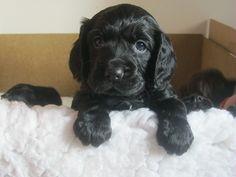Love this adorable cute black Cocker Spaniel Puppy ♥ ♥ ♥
